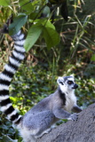 Ringtailed Lemur in Anja National Park, Ambalavao, Madagascar, Africa Photographic Print by Lynn Gail