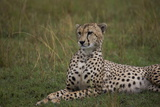 Cheetah (Acinonyx Jubatus), Masai Mara National Reserve, Kenya, East Africa, Africa Photographic Print by Angelo Cavalli