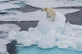 Young Adult Polar Bear (Ursus Maritimus) on Ice in Hinlopen Strait Photographic Print by Michael Nolan