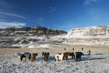 Icelandic Horses, Iceland, Polar Regions Photographic Print by Christian Kober
