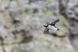 Atlantic Puffin (Fratercula Arctica) Photographic Print by Michael Nolan