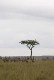 Burchell's Zebras (Equus Burchelli), Masai Mara National Reserve, Kenya, East Africa, Africa Photographic Print by Angelo Cavalli