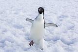 Adelie Penguin (Pygoscelis Adeliae) Photographic Print by Michael Nolan