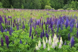 Field of Wild Lupines, Tacoma, Washington State, United States of America, North America Photographic Print by Richard Cummins