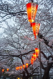 Red Lanterns Illuminating the Cherry Blossom in the Ueno Park, Tokyo, Japan, Asia Fotografisk trykk av Michael Runkel