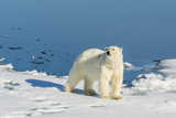 Young Adult Polar Bear (Ursus Maritimus) on Ice in Hinlopen Strait Photographic Print by Michael Nolan