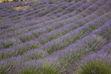 Lavender Fields, Provence, France, Europe Photographic Print by Angelo Cavalli