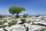 Single Tree on a Plateau, Vidova Gora, Brac Island, Dalmatia, Croatia, Europe Photographic Print by Markus Lange
