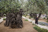 Olive Trees in the Garden of Gethsemane, Jerusalem, Israel, Middle East Photographic Print by Yadid Levy