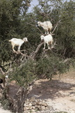 Goats Up Argan Tree, Near Essaouira, Morocco, North Africa, Africa Photographic Print by Stuart Black