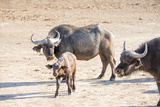 Family of Buffalo (Syncerus Caffer) Photographic Print by Kim Walker