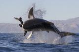 Great White Shark (Carcharodon Carcharias) Fotografisk tryk af David Jenkins
