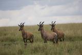 Topi (Damaliscus Korrigum), Masai Mara National Reserve, Kenya, East Africa, Africa Photographic Print by Angelo Cavalli