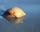 Shell Reflection I Art