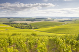 Champagne Vineyards in the Cote Des Bar Area of Aube, Champagne-Ardenne, France, Europe Photographic Print by Julian Elliott