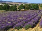 Lavender Field, Le Plateau De Sault, Provence, France Photographic Print by Guy Thouvenin