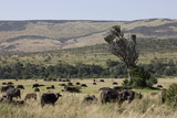 African Buffalo (Syncerus Caffer), Masai Mara National Reserve, Kenya, East Africa, Africa Photographic Print by Angelo Cavalli