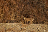 Bobcat (Lynx Rufus), Bosque Del Apache National Wildlife Refuge, New Mexico Photographic Print by James Hager