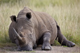 White Rhinoceros (Ceratotherium Simum) Napping, Hluhluwe Game Reserve, South Africa, Africa Photographic Print by James Hager