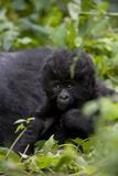 Young Mountain Gorilla (Gorilla Gorilla Beringei), Kongo, Rwanda, Africa Fotografisk tryk af Thorsten Milse