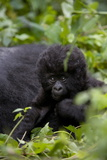 Young Mountain Gorilla (Gorilla Gorilla Beringei), Kongo, Rwanda, Africa Photographic Print by Thorsten Milse