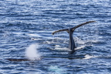 Adult Humpback Whales (Megaptera Novaeangliae) Photographic Print by Michael Nolan