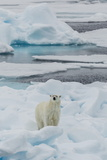 Young Adult Polar Bear (Ursus Maritimus) on Ice in Hinlopen Strait Lámina fotográfica por Michael Nolan