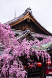 Cherry Blossom Tree in the Geisha Quarter of Gion, Kyoto, Japan, Asia Photographic Print by Michael Runkel