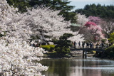 Cherry Blossom in the Shinjuku-Gyoen Park, Tokyo, Japan, Asia Photographic Print by Michael Runkel