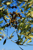 Olives on Tree, Italy, Europe Fotografie-Druck von Charles Bowman