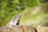 Marmot (Marmota Marmota), Zermatt, Valais, Swiss Alps, Switzerland, Europe Photographic Print by Christian Kober