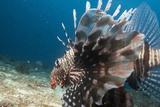 Lionfish, Mozambique, Africa Fotografisk tryk af Andrew Davies