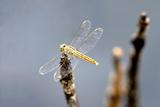 Dragonfly on Stump, Kumarakom, Kerala, India, Asia Photographic Print by Balan Madhavan