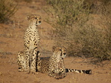 Cheetah (Acinonyx Jubatus) Siblings Photographic Print by James Hager