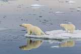 Mother Polar Bear with Second Year Cub (Ursus Maritimus) on Ice in Olgastretet Off Barentsoya Photographic Print by Michael Nolan