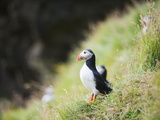 Puffin (Fratercula Arctica) Photographic Print by Christian Kober
