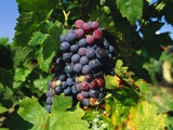 Grapevine, Vineyard, France Photographic Print by Duncan Maxwell