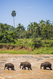Three Elephants in the Maha Oya River at Pinnawala Elephant Orphanage Near Kegalle Photographic Print by Matthew Williams-Ellis