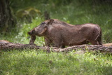Eritrean Warthog (Phacochoerus Africanus Aeliani) Scratching on a Log Fotografisk tryk af Gabrielle and Michael Therin-Weise