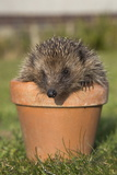 Hedgehog (Erinaceus Europaeus), in Plant Pot, Captive, United Kingdom, Europe Photographic Print by Ann and Steve Toon