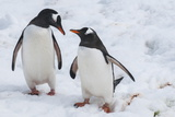 Gentoo Penguins (Pygoscelis Papua), Mikkelson Island, Antarctica, Polar Regions Photographic Print by Michael Runkel