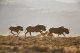 Three Black Wildebeest (White-Tailed Gnu) (Connochaetes Gnou) Running Photographic Print by James Hager