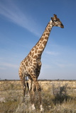 Giraffe (Giraffa Camelopardalis), Etosha National Park, Namibia, Africa Photographic Print by Ann and Steve Toon