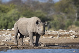 Black Rhino (Diceros Bicornis), Etosha National Park, Namibia, Africa Photographic Print by Ann and Steve Toon