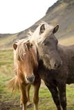 Horses, South Iceland, Polar Regions Photographic Print by Ben Pipe