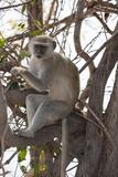 Vervet Monkey (Cercopithecus Aethiops), Chobe National Park, Botswana, Africa Photographic Print by Sergio Pitamitz