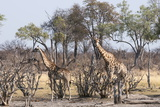 Giraffe (Giraffa Camelopardalis), Okavango Delta, Botswana, Africa Photographic Print by Sergio Pitamitz
