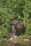 Eurasian Beaver (Castor Fiber), Captive in Breeding Programme, United Kingdom, Europe Fotografisk tryk af Ann and Steve Toon