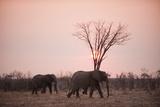 African Elephants (Loxodonta Africana), Savuti, Chobe National Park, Botswana, Africa Photographic Print by Sergio Pitamitz