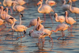 Greater Flamingoes (Phoenicopterus Ruber) and Lesser Flamingoes (Phoenicopterus Minor) Fotografisk tryk af Ann and Steve Toon